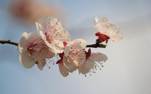 杏花粉紅色花卉風景高清壁紙