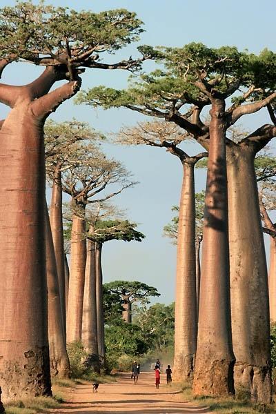 猴面包树巷,马达加斯加
