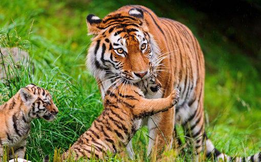 动物高清电脑壁纸之豺狼虎豹