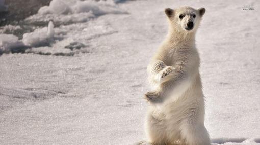 北极熊高清动物桌面壁纸
