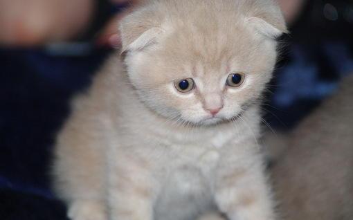 苏格兰折耳猫可爱卖萌猫电脑桌面壁纸