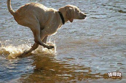 一只会水上漂的汪!