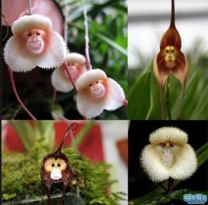 花猴子_这种花到底叫什么?长得好像猴子啊!