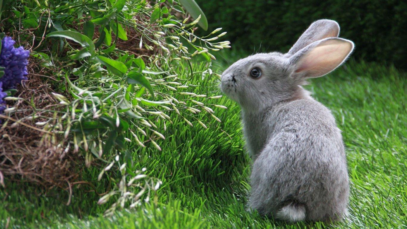 可爱兔子桌面背景